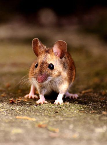 Użyteczność badań na zwierzętach w psychologii. Przywiązanie czy rzeczywista potrzeba?